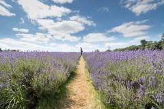 2019-Mayfield-Lavender-Farm-small-1
