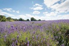 2019-Mayfield-Lavender-Farm-small-2