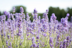 2019-Mayfield-Lavender-Farm-small-3