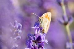 2019-Mayfield-Lavender-Farm-small-31