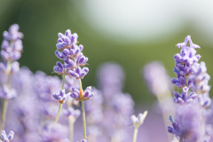 2019-Mayfield-Lavender-Farm-small-4