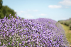 2019-Mayfield-Lavender-Farm-small-5