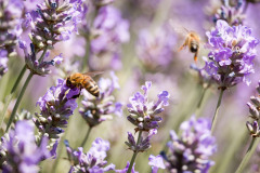 2019-Mayfield-Lavender-Farm-small-6