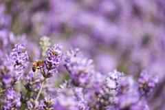 2019-Mayfield-Lavender-Farm-small-7