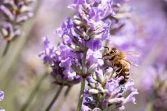 2019-Mayfield-Lavender-Farm-small-8